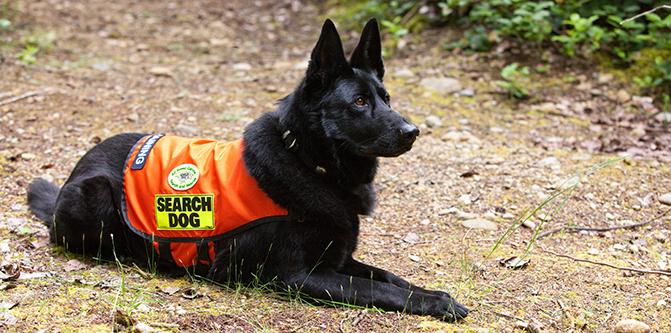 """I have a question for SAR members.  There have been many cases where a K-9 has been used in a """"live scent"""" mode, we will call it and when searching for like a child that has gone missing, the dogs pick up no scent.  In some cases the child was found very close by their home but the dogs didn't track the scent.  I'm sure there are variables but I think LE needs to be able to trust the dogs more."""