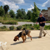 K9 Daisy - Scent Discriminate Trailing Bloodhound - 7 Months